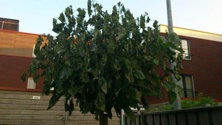 is deze boom ziek?