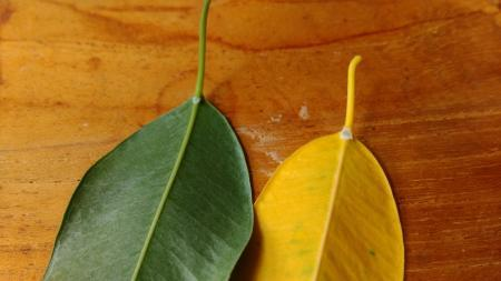 Ficus laat veel blad vallen, wit puntje onder blad
