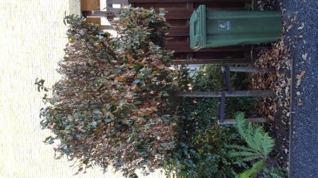 verplaatste olijfboom die dood gaat.