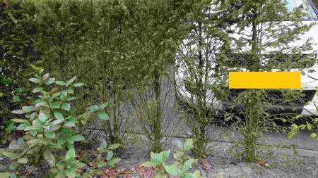 Kale plekken Taxus aanpakken