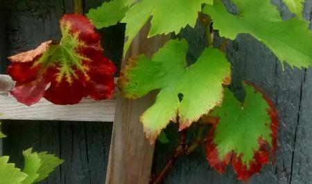 Rode randen druivenblad