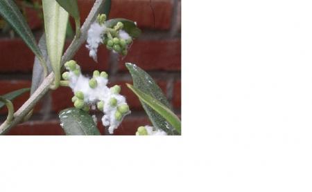Olijfboom met witte wollige luis?