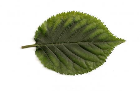 Welke boom is dit? zie foto van het blad.