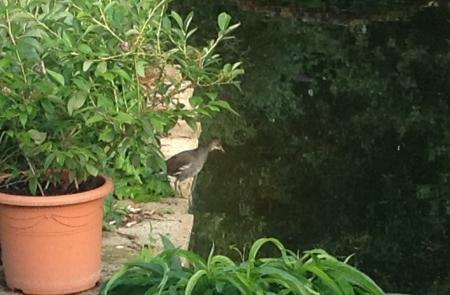 onbekende vogel/steltloper aan de vijver