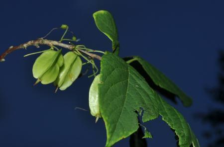 Van welke boom is deze vrucht