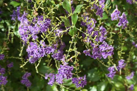 Spaanse purperen bloemen