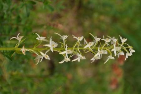 wilde orchis uit Frankrijk