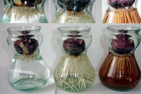 Test : hyacintenbollen met verschillende voeding