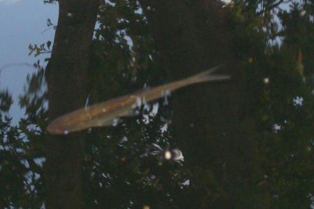 Onbekende vis, welke soort is dit?