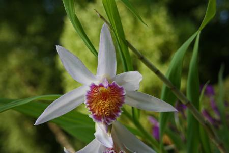 Thunia gattonensis in bloei