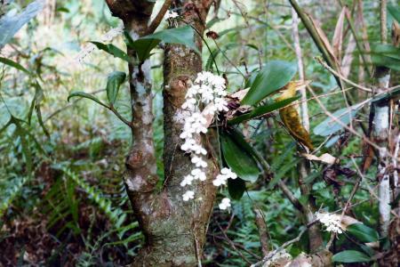 orchideen Madagascar