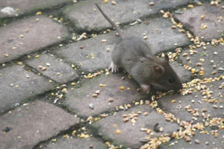 muis of rat