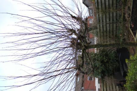 Nieuw huis , nieuwe tuin, welke boom is dit? (2)