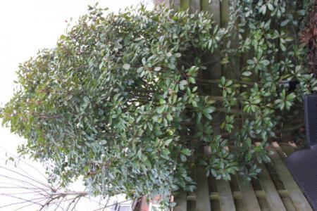 Nieuw huis , nieuwe tuin, welke boom is dit? (4)