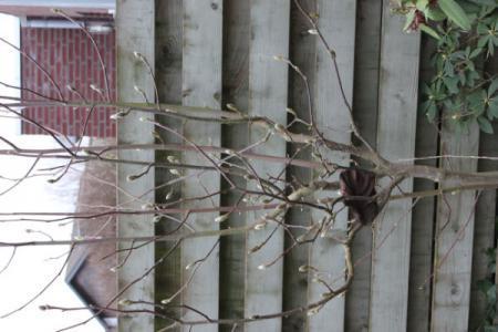 Nieuw huis , nieuwe tuin, welke boom is dit? (6)
