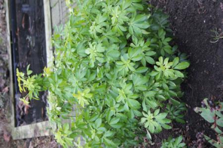 nieuwe tuin, welke plant is dit? (1)