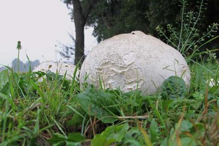 wie weet welke paddenstoel dit is