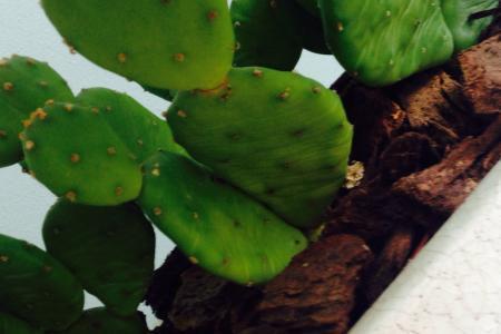 Cactus wordt geel