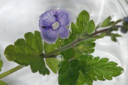 Klein blauw bloempje
