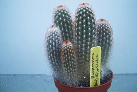 cactus id