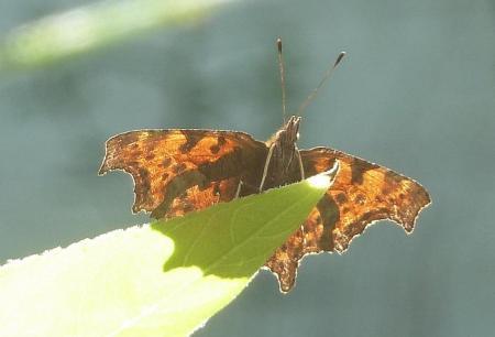 naam vlinder