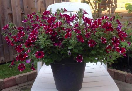 Petunia veranderd van kleur??
