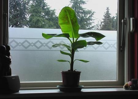 Grond bananenboom?