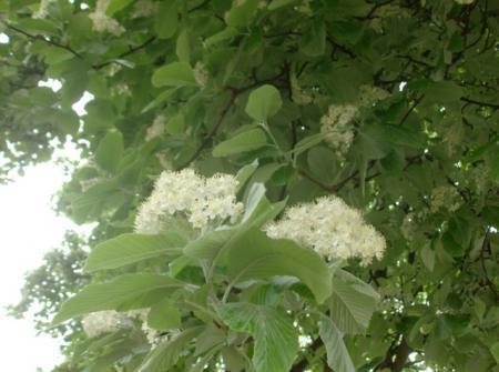 Boom met witte bloesem gezien in Engeland
