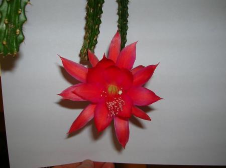 aporocactus of aporophyllum?