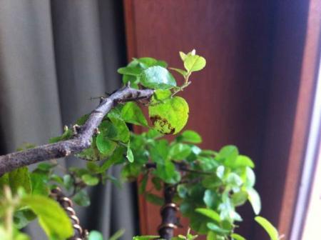 Sagaritia ziek of tekort aan iets?