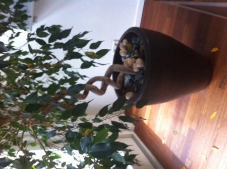 Paddestoelen in de potgrond van mijn Ficus