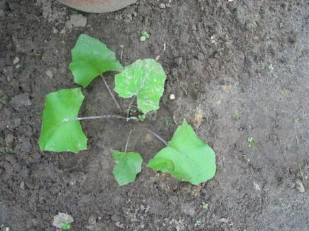 typische bladvorm