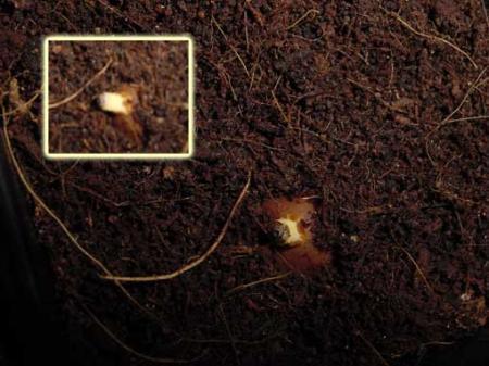 Kiemen dioon - mijn eerste gekiemde exoot