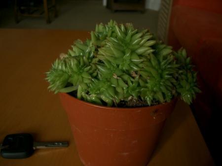 Hoe heet deze kamvormige vetplant?