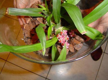 klein orchideetje