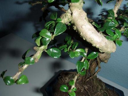 Wat voor bonsai heb ik?