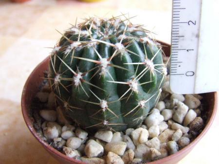 hoet heet deze cactus