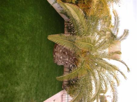 Palmboombladeren worden geel