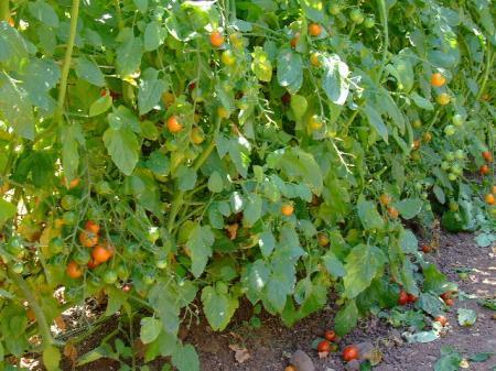 Cherrytomaten, dieven, algemene info gevraagd!
