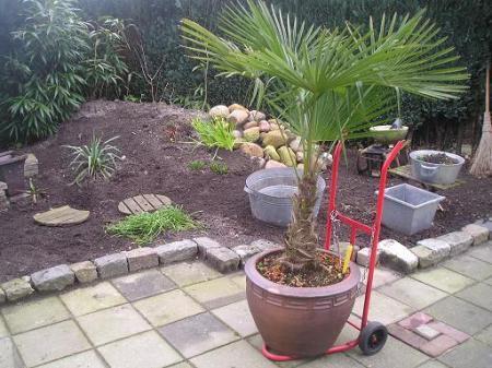 vraagje....Trachycarpus Fortunei.