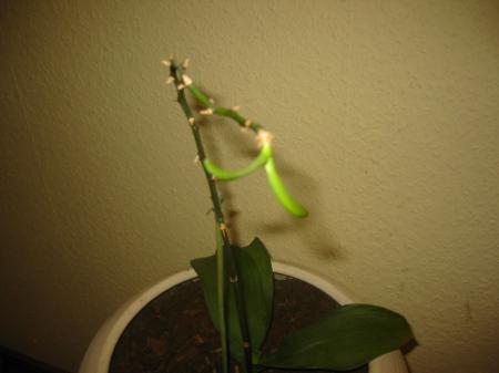 nieuwe stek phalaenopsis?