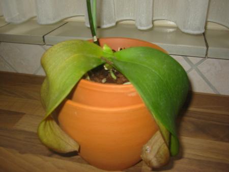 bladeren phalaenopsis