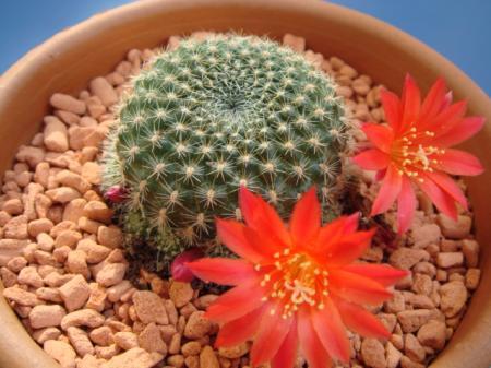naam cactus