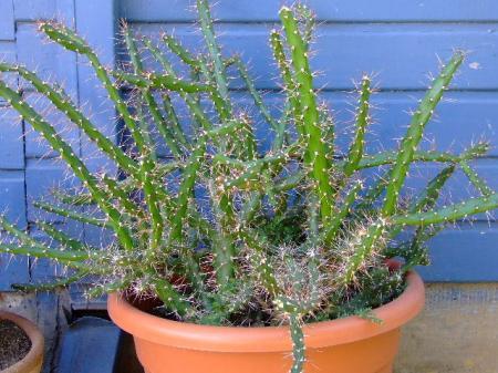 ID cactussen