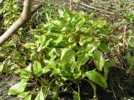 groen blad en paarse bloemschermen