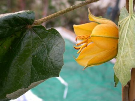 Chiranthodendron x Fremontodendron