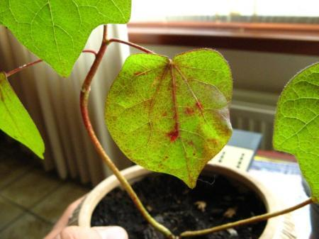 Katoenplant met rode vlekken