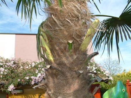 Bloei trachycarpus...