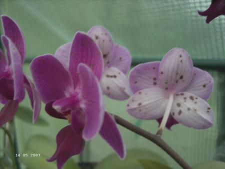 bruine stippen op phal. bloemen