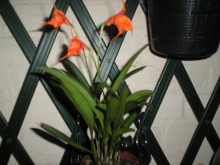 De naam van deze orchidee